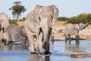 Éléphants Delta de l' Okavango